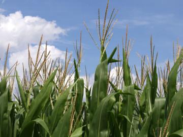 This Season: Lovelorn for Corn
