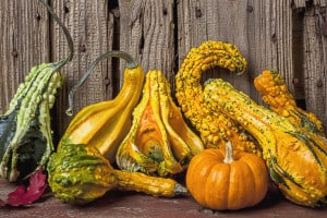 Gourds against a wooden wall